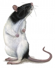bw-rat-for-package