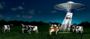 Cow Abduction ad
